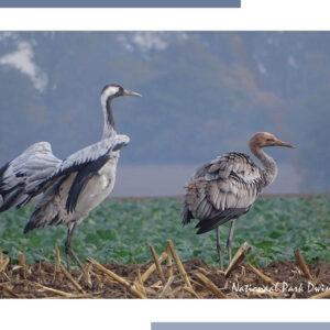 Krannvogels